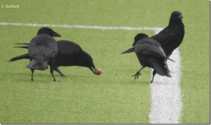 Krähen Nußfußball
