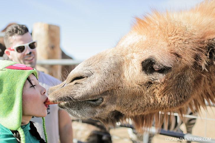 Camel Kiss.