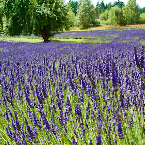 Lavender Farm with Fruit Tree by Dana Styber - Nature Up Close Gardens & Produce ( pwcflowergarden, fruit tree, purple, green, flowers, lavender, rows )