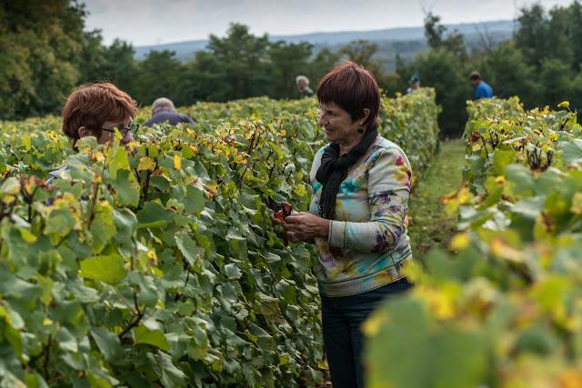 Petites vendanges 2017 du chardonnay gelé. guimbelot.com - 2017-09-30%2Bvendanges%2BGuimbelot%2Bchardonay-193.jpg