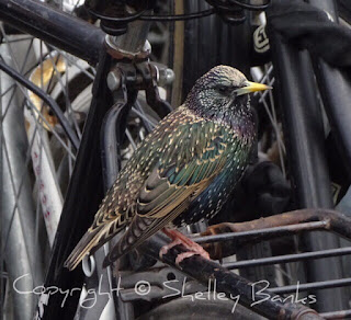 European Starling. Amsterdam. © Copyright, Shelley Banks, all rights reserved.