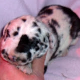 harlequin female @ 1 week