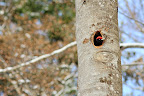 CASQUE ROUGE   Ce pic noir mâle attend le relais de la femelle pour la couvaison des oeufs fraichement pondus !