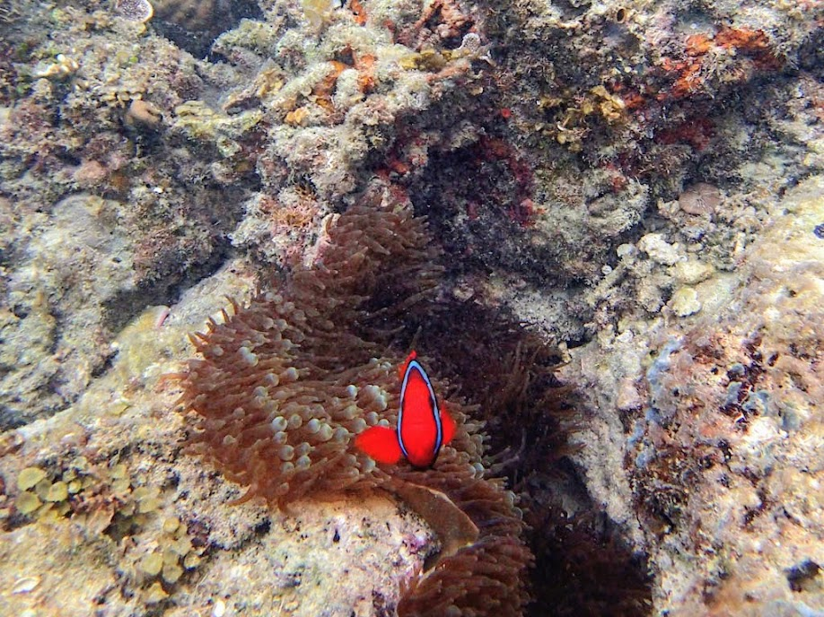 Amphiprion frenatus (Tomato Clownfish) with Entacmaea quadricolor (Bubble Anemone),  Miniloc Island Resort, Palawan, Philippines.