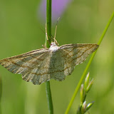 Geometridae : Ennominae :  Perconia strigillaria, (HÜBNER, [1787]), femelle. Hautes-Lisières (Rouvres, 28), 13 mai 2011. Photo : J.-M. Gayman