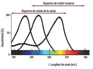 Espectro visible humano y de abejas
