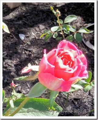 10-22-rose2