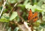 Dobbeltplettet perlemorsommerfugl, hecate3.jpg