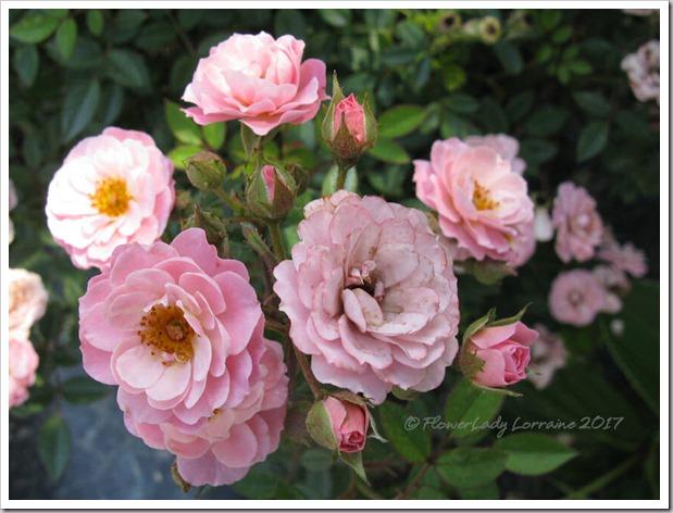 04-03-new-rose3