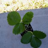 Gardening 2010 - 101_0203.JPG