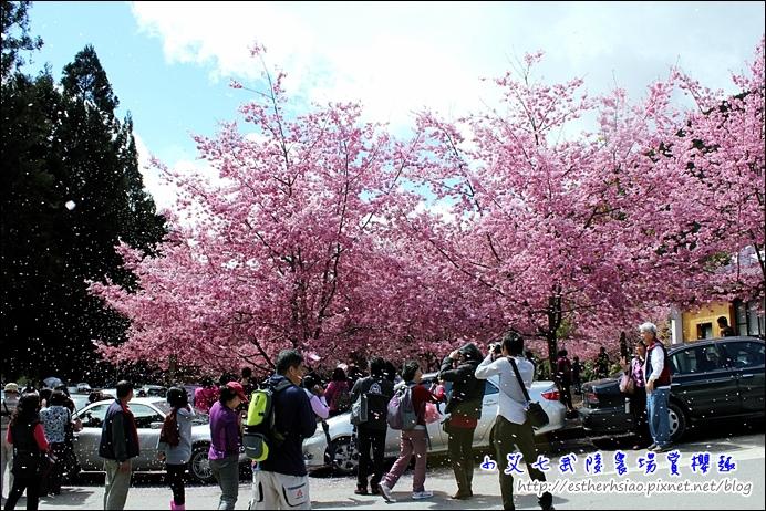 11 櫻花雨
