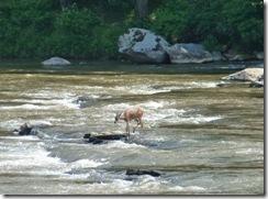 Deer can swim