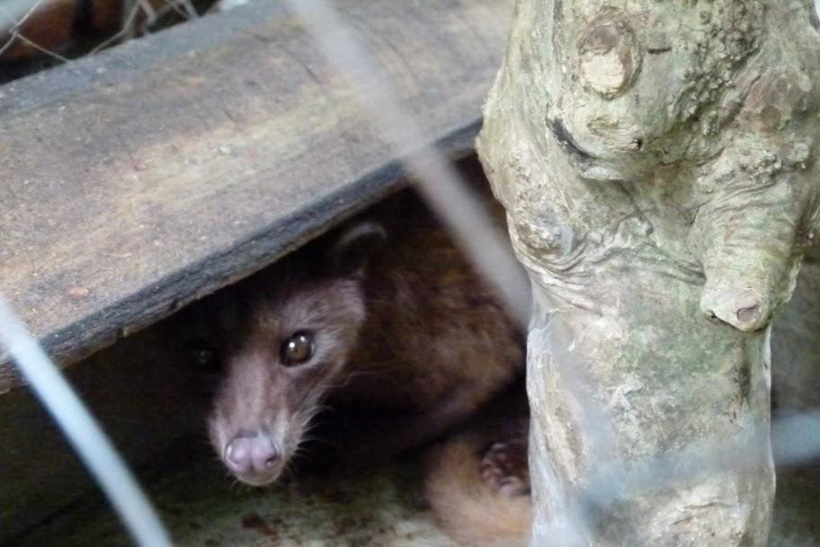 Unhappy Civet