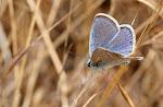 Sydlig blåfugl, han - celiina.jpg