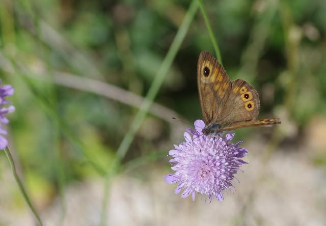 Lasiommata maera adrasta (Hübner, [1823-1824], mâle. Les Hautes-Courennes (550 m), Saint-Martin-de-Castillon (Vaucluse), 25 juin 2015. Photo : J.-M. Gayman