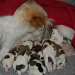 Hvalpe/Puppies - IMGP8902.JPG