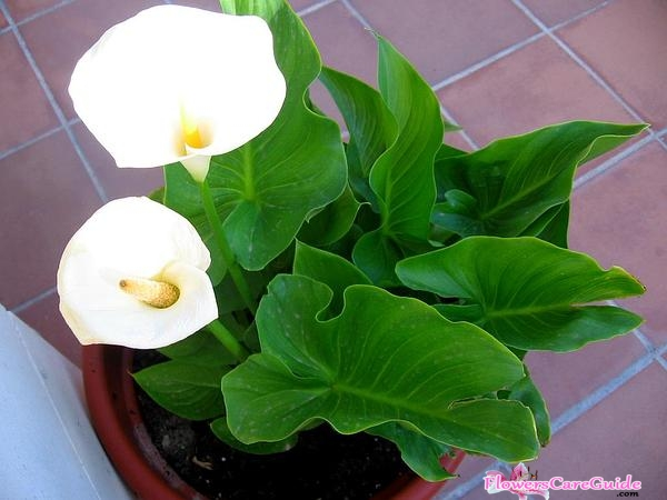 Information about Calla Lily seed: Tips on Growing a Calla Lily from Seed