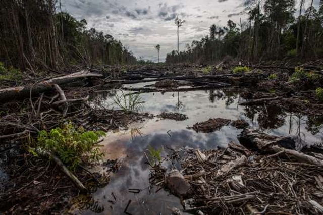 An area that was burned to clear land for plantations in 2015 in the province of Central Kalimantan. The fires in 2015 destroyed more than 1,650 square miles of forest in the province alone, or 16 percent of its total. Photo: Kemal Jufri / The New York Times