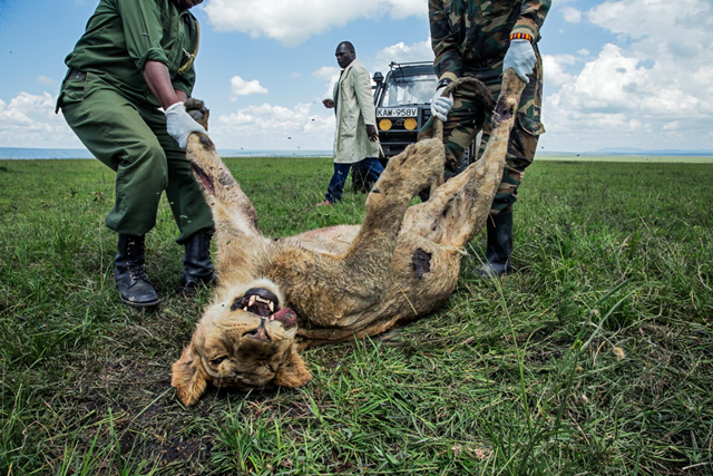 A young male lion was one of three members of Kenya's famous Marsh Pride to die in 2015 after eating a cow carcass that Maasai herders had laced with carbosulfan, an insecticide. The lions had killed several cows. Photo: Charlie Hamilton James / National Geographic