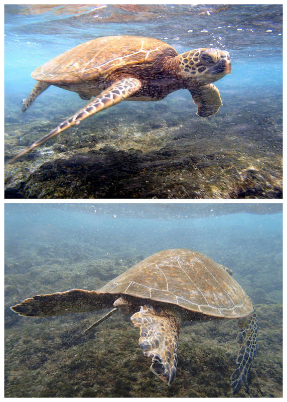 Green Sea Turtle at Kahalu'u Beach