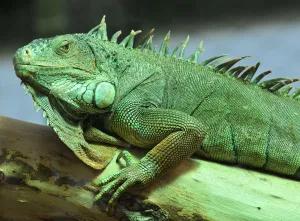 """Bomberos rescatan iguana """"gigante"""" durante incendio en Queens, Nueva York"""