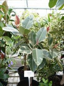 Figowiec sprężysty Schrijveriana Ficus elastica Schrijveriana