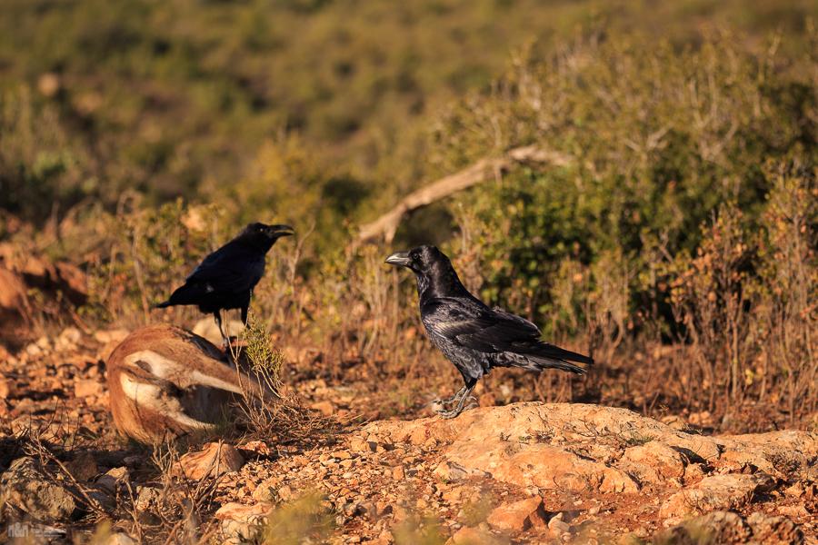Cuervo (corvus corax) | Fauna de la mariola