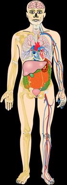 Fungsi Organ Tubuh Manusia Bagian Dalam