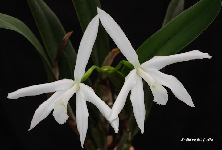 Laelia perrinii f. alba IMG_8699b%252520%252528Large%252529