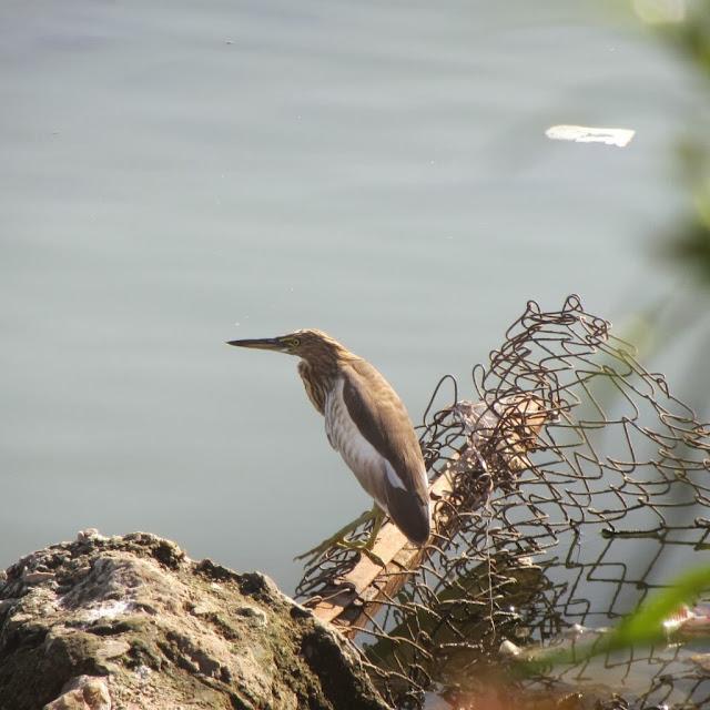 Indian Pond Heron, Jaipur