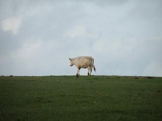 Белая корова на фоне неба и травы