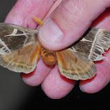 Hemileucinae : Dirphia apeggyae BRECHLIN, MEISTER & KACH, 2011. Los Cedros, 1400 m, Montagnes de Toisan, Cordillère de La Plata (Imbabura, Équateur), 18 novembre 2013. Photo : J.-M. Gayman