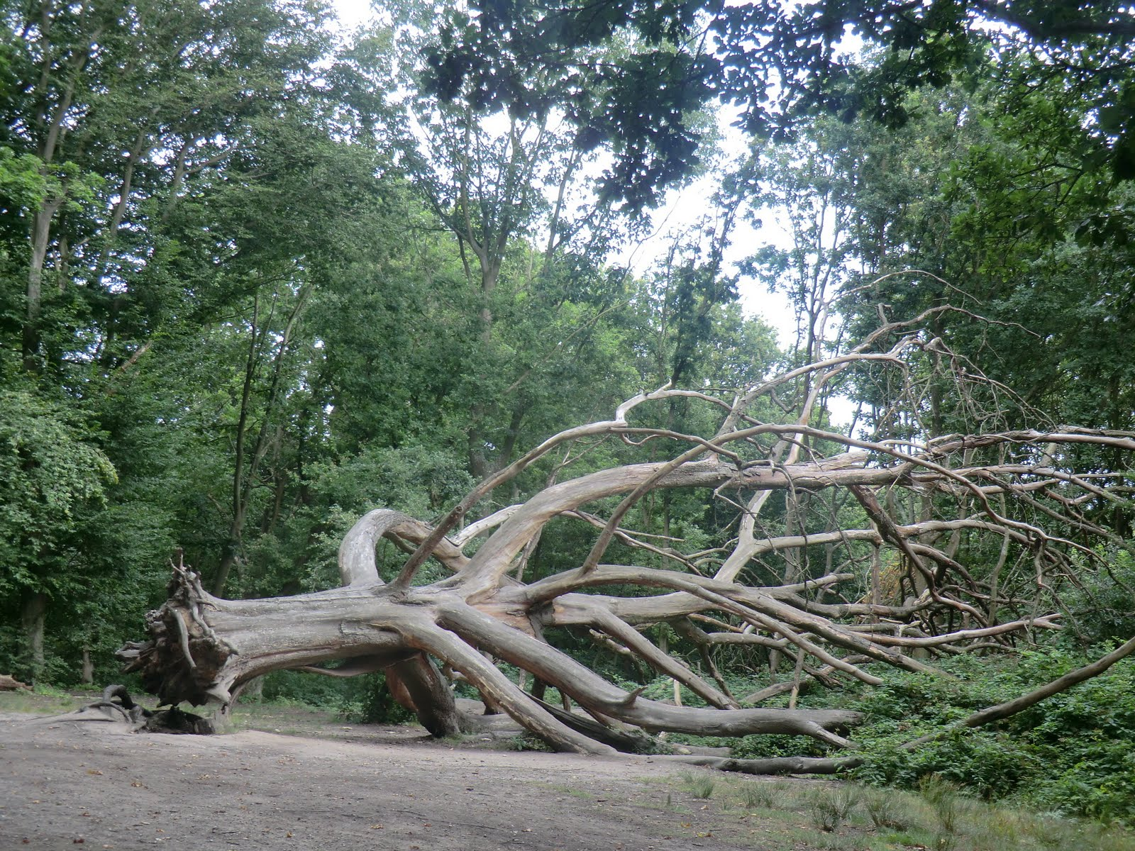 CIMG9694 A casualty of the storm, Hampstead Heath