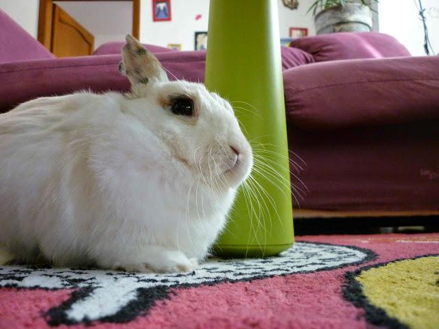Mirana, lapine blanche-[adoptée] Mirana23