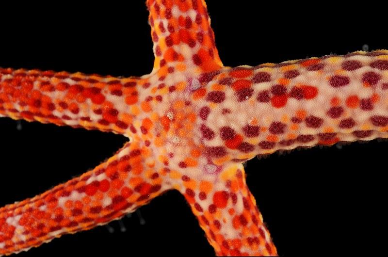 Linckia multifora, Papua New Guinea
