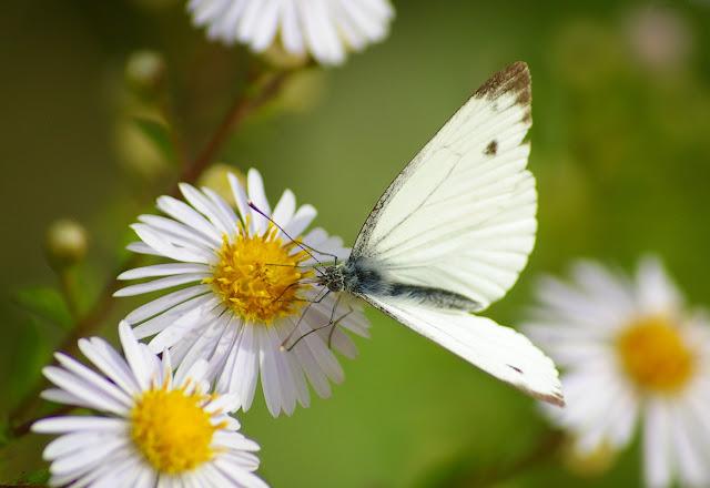 Pieris napi L., 1758, mâle. Les Hautes-Lisières (Rouvres, 28), 27 septembre 2011. Photo : J.-M. Gayman