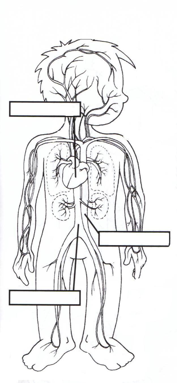 Excepcional Sistema Circulatorio Para Colorear Página Patrón ...