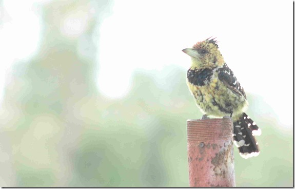 small crested barbet