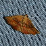 Noctuidae : Acontiinae : Sophta concavata WALKER, [1863]. Umina Beach (N. S. W., Australie), 25 décembre 2011. Photo : Barbara Kedzierski