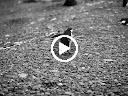 アゴヒゲペンギンの走行