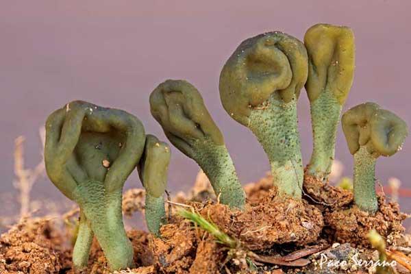 Microglosum viride