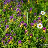 Марьянник дубравный (Melampyrum nemorosum) и Нивяник обыкновенный (Leucanthemum vulgare)