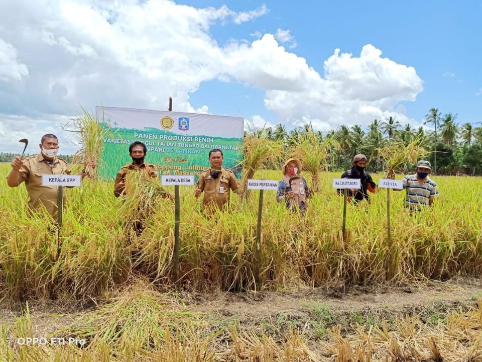 Kelompok Tani Massengereng II Desa Lompulle Kec. Ganra Kab.Soppeng Panen Padi Varietas Tahan Tungro