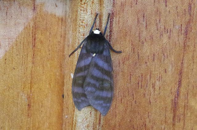 Pachydota albiceps (Walker, 1856). Mount Totumas, 1900 m (Chiriquí, Panamá), 20 octobre 2014. Photo : J.-M. Gayman