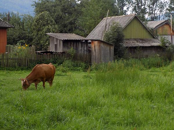 Cows, chicken rural unique scenery Carpathians Ukraine