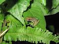 A frog on a leaf | photo © Jane Allen