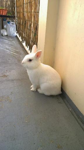 Meiko, lapin blanc à l'oeil au beurre noir!-[adopté] Img_1426612310_273