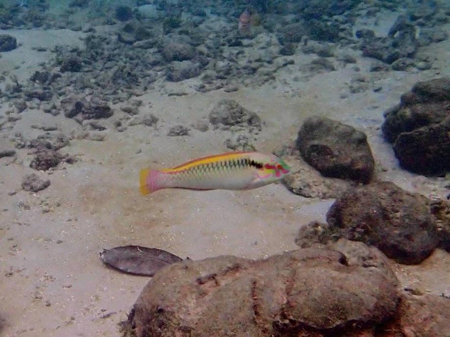 Unidentified Wrasse, Miniloc Island Resort Reef, Palawan, Philippines.