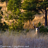 With its stout neck bulging from testosterone, a handsome mule deer buck completes the scene on a mid-October afternoon in western Montana.