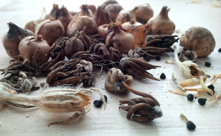 spring bulbs and seeds